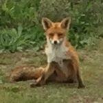 Fox in Kijkduin